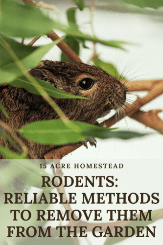 If you are worried about rodents in your gardens, this post will help you eliminate them and prevent future visits.