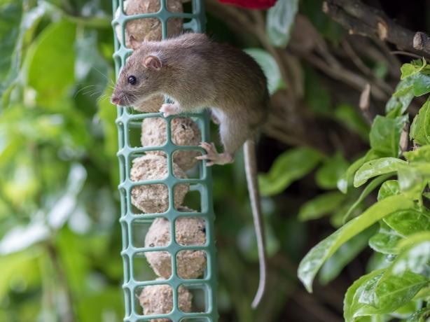 A rat in a bird feeder
