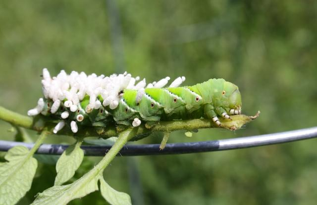 Tomato hornworms with wasp parasite on its back