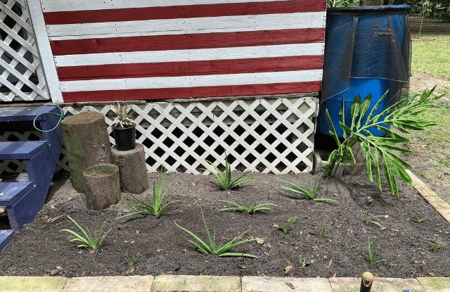 An aloe medicinal garden