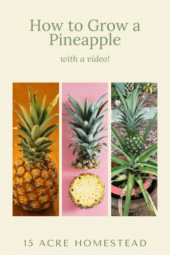 Learn how to grow your own pineapple from a grocery store pineapple! Includes a video!
