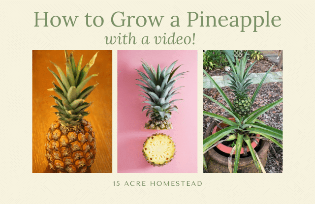 Grow a pineapple featured image