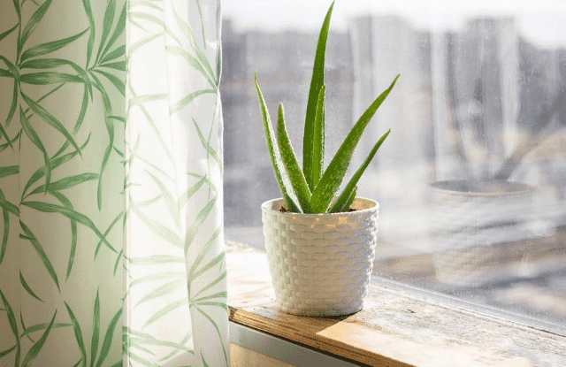 Aloe in pot on a windowsill