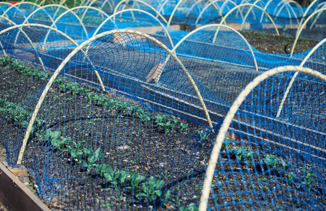 bird netting over strawberry plants