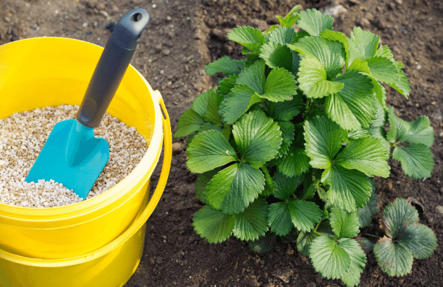 fertilizer for strawberry plants in a pail