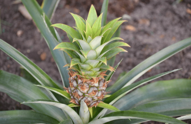 Newly growing pineapple plant
