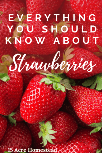 Learn everything you need to know to successfully grow strawberries on your homestead.