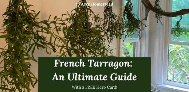 Tarragon featured image
