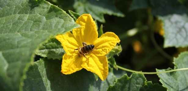 bee on squash plant