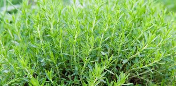 French Tarragon growing in herb garden