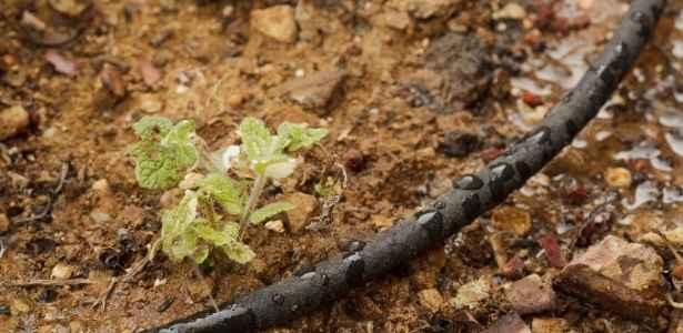 Soaker hose installed in vegetable garden