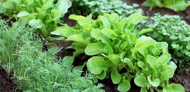Vegetable garden closeup of lettuce