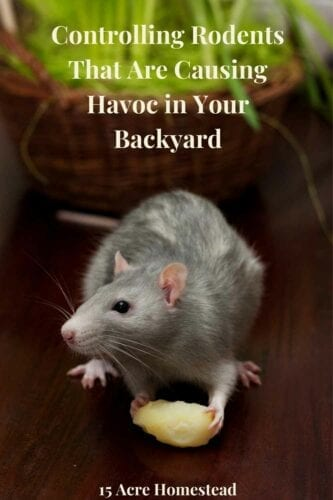 No homesteader wants to deal with rodents on their homestead. In this post, you will learn how about controlling rodents once and for all.