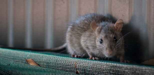 rodent needing pest control