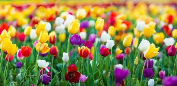 garden with tulips