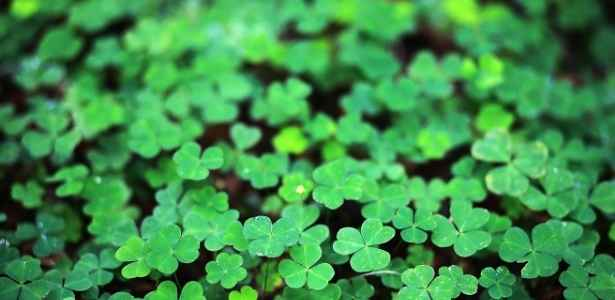 Clovers are an excellent choice of wild foods