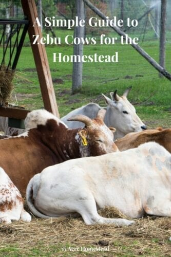 Find out all about Zebu cows and why you may want them as a pet and as a benefit to your homestead this year!