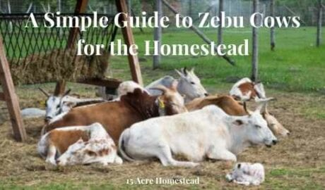 zebu cows featured image