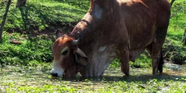 Zebu cow eating grass