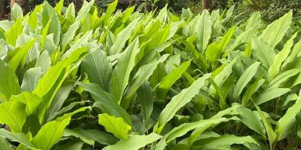 zanzibar plant