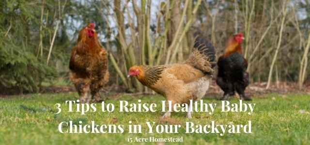 Raise healthy baby chickens featured image