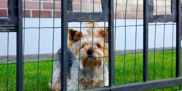 A dog in a fenced yard