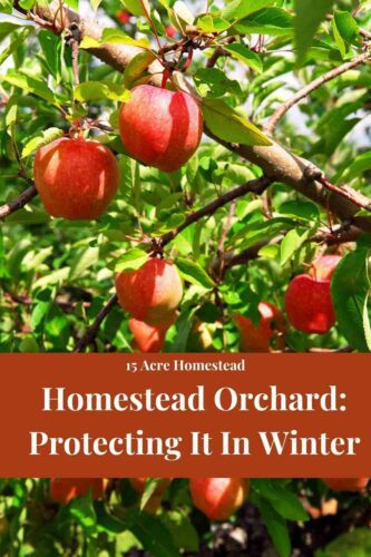 Use this post to learn all you can about protecting your homestead orchard throughout the winter months.