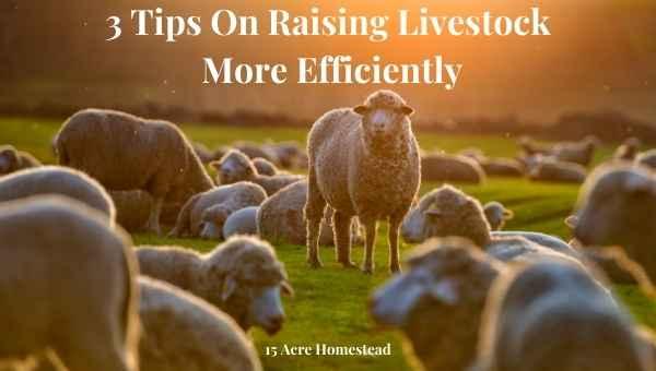 raising livestock featured image