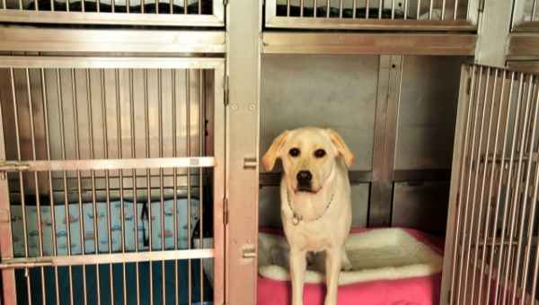 Lab in a clean kennel