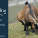 Breeding Goats on your Homestead
